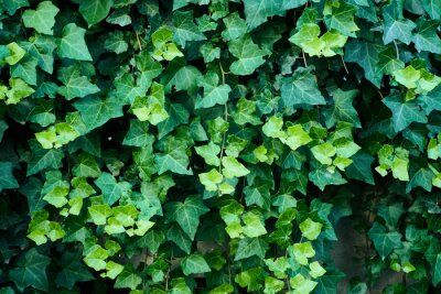 Papiers peints Close-up Of Ivy Growing Outdoors