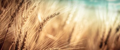 Papiers peints Close-up Of Ripe Golden Wheat With Vintage Effect, Clouds And Sky - Harvest Time Concept