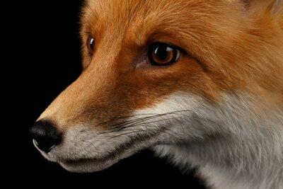 Papiers peints Closeup, portrait, rouge, Fox, profil, isolé, noir