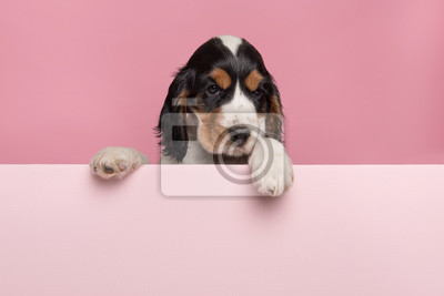 Cocker Spaniel puppy hanging over the border of a pastel pink board with its paws on a pink background