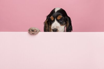Cocker Spaniel puppy hanging over the border of a pastel pink board with its paws on a pink background with space for copy