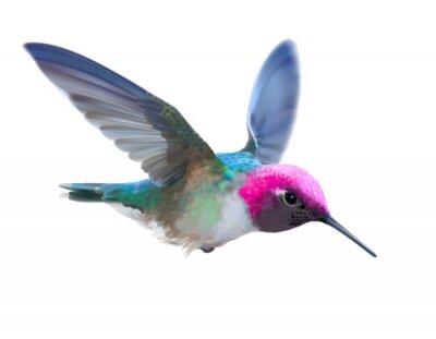 Papiers peints Colibri - Calypte anna. Illustration vectorielle dessinés à la main d'un colibri d'Anna mâle en vol avec un plumage brillant coloré sur fond transparent.