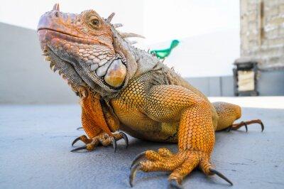 Papiers peints Coloré Jeune Homme Iguana