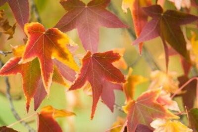 Colorful autumn leaves of a maple tree