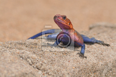Colourful  lizard, agama from Tanzania resting on a wall