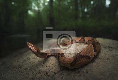 Papiers peints Copperhead sauvage (Agkistrodon contortrix) dans le marais de Floride
