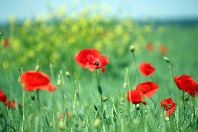 Papiers peints Coquelicots fleur paysage printemps saison