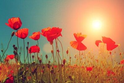 Papiers peints Coucher de soleil sur champ de coquelicots