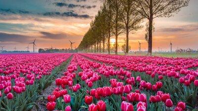 Papiers peints coucher de soleil tulipe 05