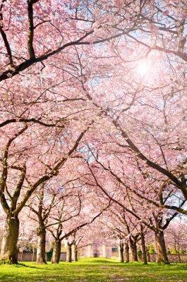 Papiers peints Couleur du printemps: jardin avec des fleurs de cerisier japonais :)