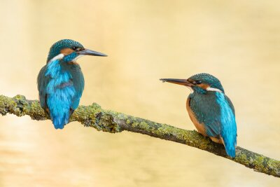 Couple of blue earopean kingfisher birds resting on a branch looking at each other