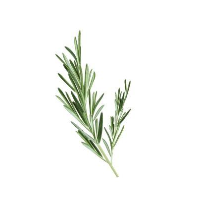 Papiers peints Croquis de l'illustration vectorielle du romarin. Herbe au romarin