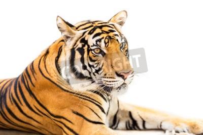 Papiers peints Crouching jeune tigre sibérien isolé sur fond blanc