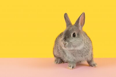 Cute alert grey rabbit on a pink and yellow background