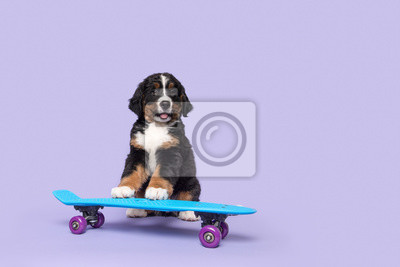 Cute bernese moutain dog puppy on a skateboard on a purple background with space for copy