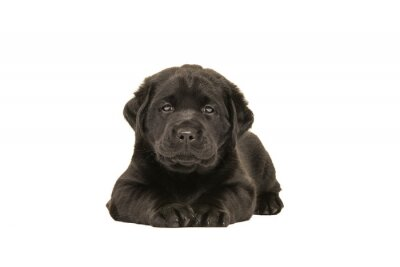 Cute  black labrador retriever puppy lying down isolated on a white background