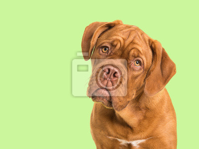 Cute bordeaux dogue portrait facing the camera on a soft green background