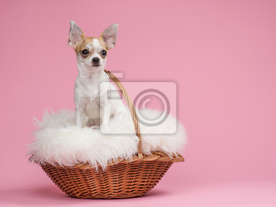 Cute chihuahua dog in a basket at a pink background