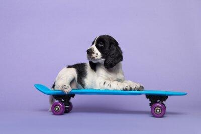 Cute cocker spaniel dog puppy lying on a skateboard on a purple background