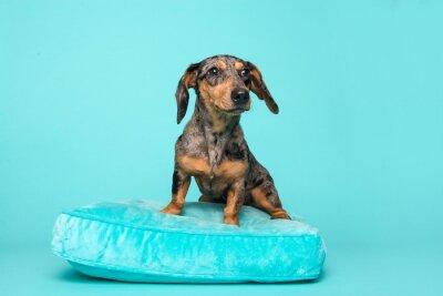 Cute dachshund puppy on a blue cushion on a blue background