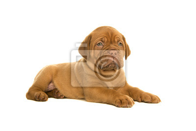 Cute dogue de Bordeaux puppy lying down isolated on a white background