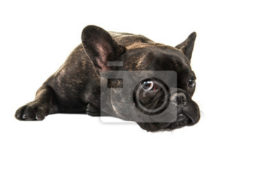 Cute French bulldog lying down on the floor isolated on a white background