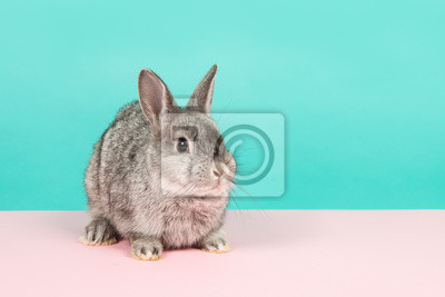 Cute grey rabbit looking at the camera on a pink underground and blue background