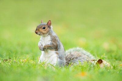 Cute grey squirrel sitting upright in a grass field