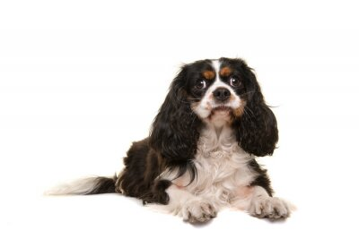 Cute King Charles spaniel looking at the camera lying isolated on a white background