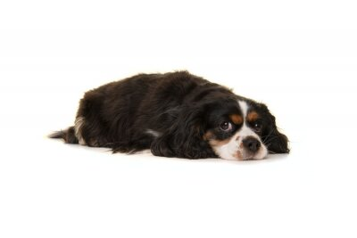 Cute King Charles spaniel lying down on the floor looking at the camera isolated on a white background
