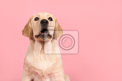Cute labrador retriever puppy with mouth open as if its is speaking on a pink background