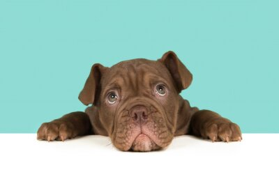 Cute old english bulldog puppy head down on a table looking at camera on a blue background