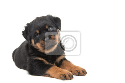 Cute rottweiler puppy lying down and looking in the camera isolated on a white background