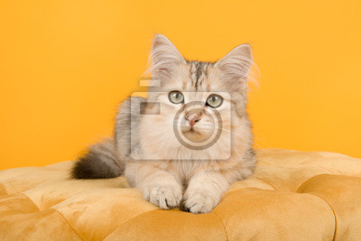 Cute siberian kitten lying down on a pouf looking at the camera on a yellow background in a horizontal image