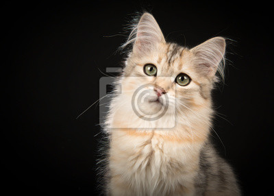 Cute siberian kitten portrait looking at the camera on a black background in a horizontal image