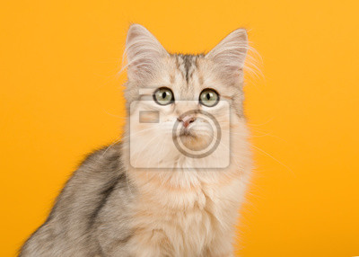 Cute siberian kitten portrait looking at the camera on a yellow background in a horizontal image