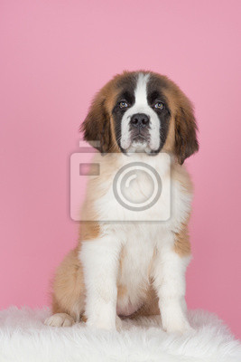 Cute sitting saint bernard puppy at a pink background