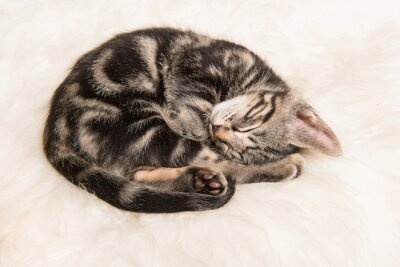 Cute sleeping tabby kitten curled up on a white fur