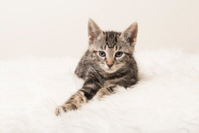 Cute tabby kitten lying down on a white fur looking at the camera
