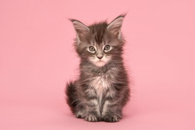 Cute tabby main coon baby cat sitting on a pink background