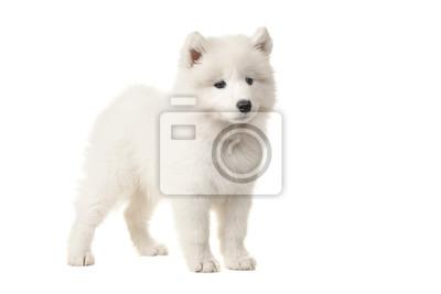 Cute White samoyed Puppy vu du côté isolé sur fond blanc