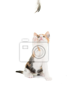 Papiers peints Cute young cat kitten playing with a feather at a white background