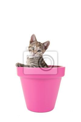 Cypers chaton, jonge kat, in een roze bloempot tegen een Witte achtergrond