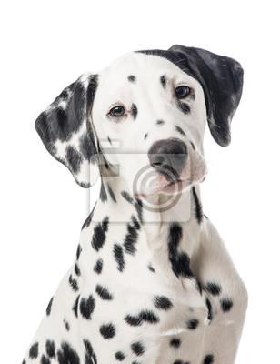 Dalmatien, chien, portrait, isolé, blanc, fond