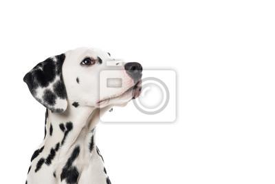 Dalmatien, chien, portrait, regarder, haut, droit, blanc, fond