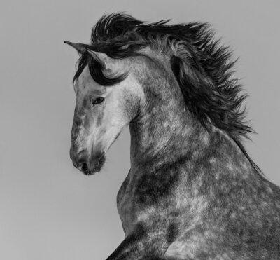 Papiers peints Dapple-gris étalon andalou - portrait en mouvement