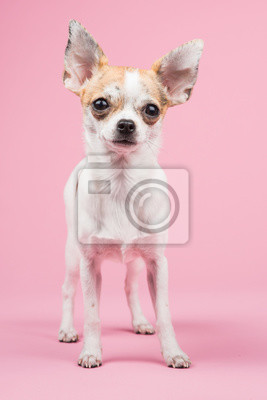 Debout, chihuahua, chien, rose, fond