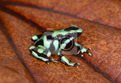 Grenouille Costa Rica dendrobates auratus grenouille venimeuse. sarapiqui, costa rica