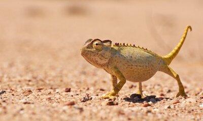 Papiers peints Desert Chamaeleon dans le Namib, en Namibie