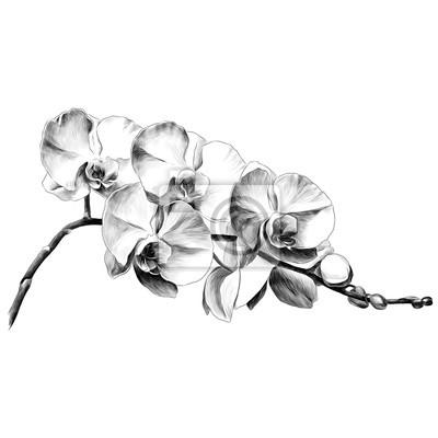 Papiers Peints Dessin Dorchidée Fleur Croquis Vecteur Graphiques Monochrome